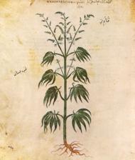 Canepa planta